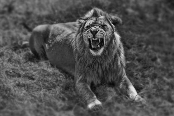 Lion 20150527 9